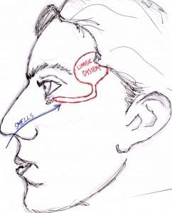 Nasal-Olfaction1-242x300
